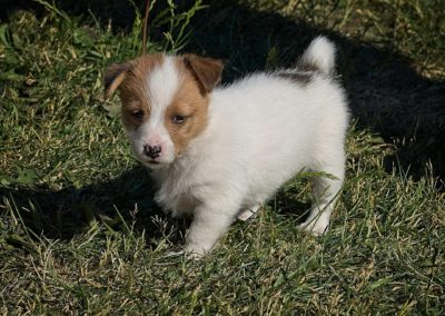 Krullets Pysen 6 weeks