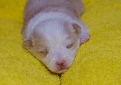 Krullets Liv 2 weeks old